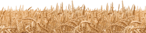 Field PNG Transparent Picture PNG Clip art