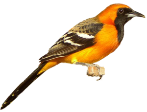 Finch Download PNG Image PNG Clip art