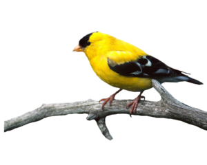 Finch PNG Image PNG Clip art