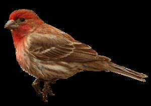 Finch PNG Transparent PNG Clip art