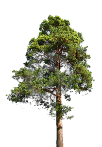 Fir-Tree PNG File PNG Clip art