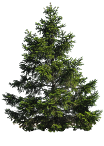 Fir-Tree Transparent Background PNG Clip art