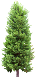Fir-Tree Transparent PNG PNG Clip art