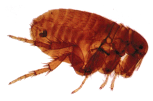 Flea Transparent Background PNG Clip art
