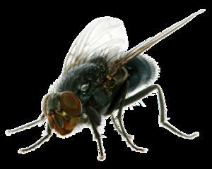 Flies PNG Clipart PNG Clip art