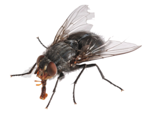 Flies PNG HD PNG Clip art
