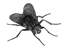 Flies Transparent PNG PNG Clip art