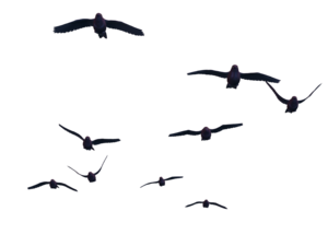 Flying Bird Transparent PNG PNG Clip art