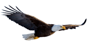 Flying Eagle Transparent Background PNG Clip art