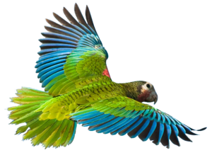 Flying Parrot PNG Image PNG Clip art