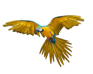 Flying Parrot Transparent PNG PNG Clip art