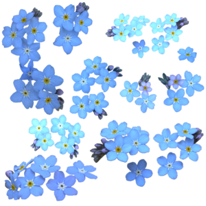 Forget Me Not PNG Clipart PNG image