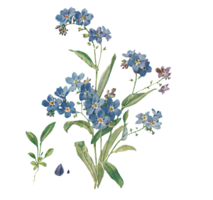Forget Me Not PNG File PNG Clip art