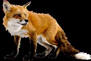 Fox Transparent Background PNG Clip art
