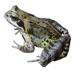 Frog PNG File PNG Clip art