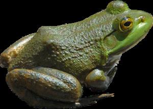 Frog Transparent PNG PNG Clip art
