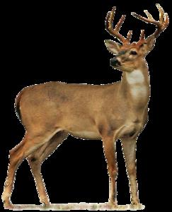 Full Body Deer Drawings Buck PNG PNG Clip art