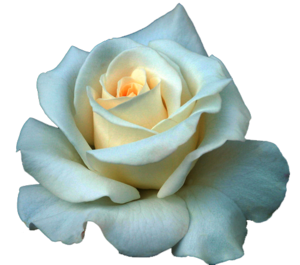 Full Grown White Rose PNG PNG Clip art