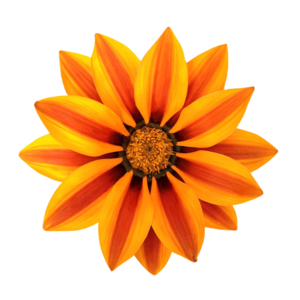 Gazania PNG File PNG icon