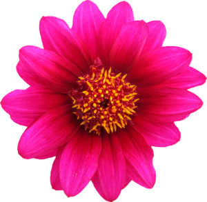 Gazania Transparent Background PNG icon