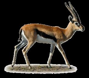 Gazelle PNG Clipart PNG Clip art
