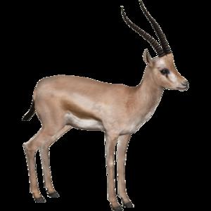 Gazelle PNG HD PNG Clip art