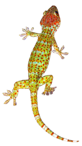 Geckos Background PNG PNG Clip art