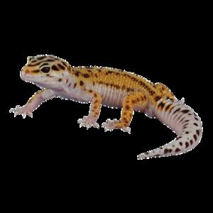 Geckos PNG Background Image PNG Clip art