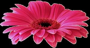 Gerbera PNG Free Download PNG Clip art