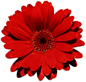 Gerbera PNG Photo PNG clipart