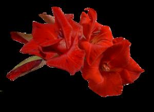 Gladiolus PNG Transparent PNG Clip art