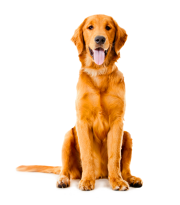 Golden Retriever PNG Background Photo PNG Clip art