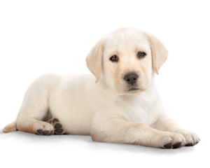 Golden Retriever PNG File Download Free PNG Clip art