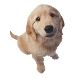 Golden Retriever PNG HD Photo PNG Clip art