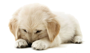Golden Retriever PNG Image HD PNG clipart
