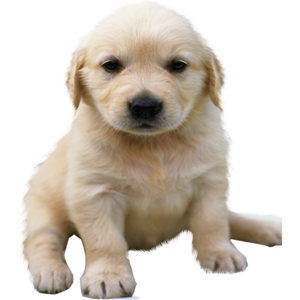 Golden Retriever PNG No Background PNG Clip art