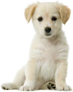 Golden Retriever PNG Pic Background PNG Clip art