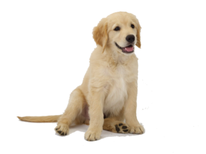 Golden Retriever PNG Transparent Image PNG Clip art