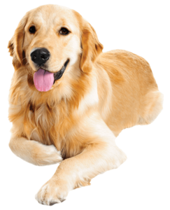 Golden Retriever PNG Transparent Images PNG Clip art