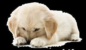 Golden Retriever Puppy PNG Clipart PNG Clip art