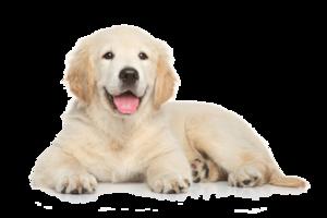 Golden Retriever Puppy PNG File PNG Clip art