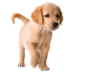 Golden Retriever Puppy PNG Image PNG Clip art