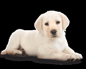 Golden Retriever Puppy PNG Photos PNG Clip art