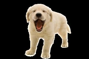 Golden Retriever Puppy PNG Transparent Image PNG Clip art