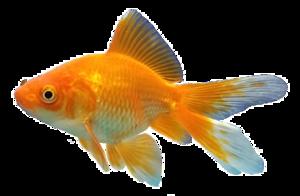 Goldfish Background PNG PNG Clip art