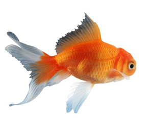 Goldfish PNG Clipart PNG Clip art
