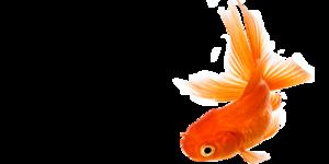 Goldfish PNG File PNG Clip art