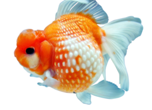 Goldfish PNG Free Download PNG Clip art