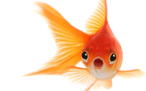 Goldfish PNG Photo PNG Clip art