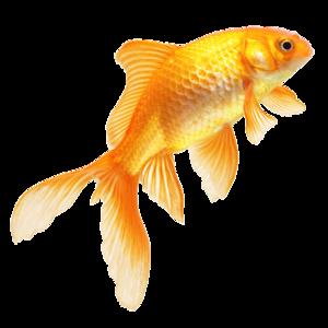 Goldfish PNG Pic PNG Clip art